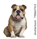 Small photo of English Bulldog, 5 years old, sitting against white background