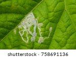 Small photo of Leaf miner in cucumber (Liriomyza spp.)