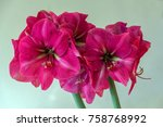 Pink Amaryllis Flower Blooming