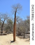 Small photo of Adansonia sp. tree in spiny forest Madagascar Ifaty