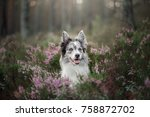 a dog in heather flowers  in a... | Shutterstock . vector #758872702