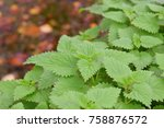 Nettle Plant In Autumn