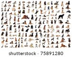 Stock photo composite picture with purebred dogs in a white background 75891280