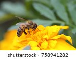 A Hard Working Bee Pollinates ...