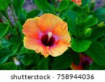 Orange And Pink Hibiscus Flowe...