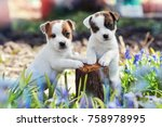 Stock photo two white puppy jack russell terrier standing on tree stump among purple flowers 758978995