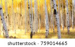 Aspen Trees And Fall Colors In...