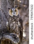 Long Eared Owl Sitting On Tree...