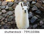 White Llama Look At The Camera