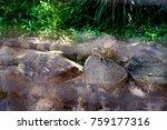 iguana lizard colour changing...   Shutterstock . vector #759177316