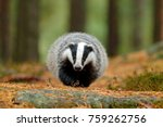badger walking in the forest ... | Shutterstock . vector #759262756