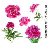 peony flower isolated on white... | Shutterstock . vector #75926740