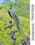 Peacock On The Tree. Portrait...