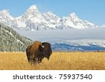 Bison In Front Of Grand Teton...