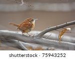 Carolina Wren  Thryothorus...