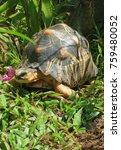 the radiated tortoise from... | Shutterstock . vector #759480052