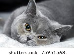 Portrait  cat of breed  British short-haired - stock photo