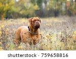 Female Brown Bordeaux Dog...