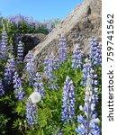 blue lupine flower in iceland | Shutterstock . vector #759741562