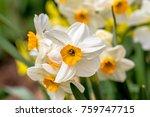 White Narcissus  Narcissus...