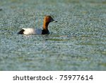 Common Pochard Drake On Water