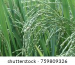 agriculture rice farming ... | Shutterstock . vector #759809326