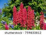 red lupins in a garden | Shutterstock . vector #759833812