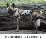 Small photo of African hunting dog with a beautiful spotted coat