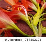 red canna lily flowers from...   Shutterstock . vector #759863176