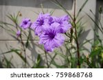 ruellia simplex morning glory... | Shutterstock . vector #759868768