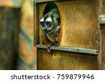 Small photo of Three-striped night monkey or Aotus trivirgatus