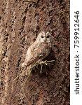 Tawny Owl Very Nice Camouflage...