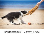 Stock photo  border collie puppy plays in the beach 759947722