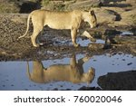 Lioness Drinking At Pool Of...