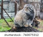 Small photo of Manul cat in a cage in the zoo. Wild animal