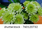 green chrysanthemum flowers