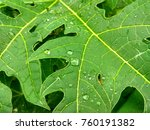 papaya leaf close up | Shutterstock . vector #760191382