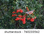 American Robin Bird Eating Red...