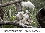 The Royal Spoonbill Is Looking...