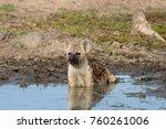 hyena cooling off  kruger... | Shutterstock . vector #760261006