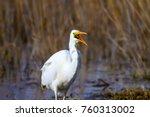 big white heron. great egret.... | Shutterstock . vector #760313002