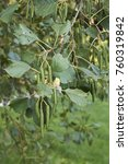 Small photo of alder tree with fruits and inflorescence