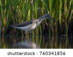 common greenshank  tringa... | Shutterstock . vector #760341856