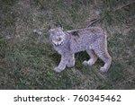 beautiful canadian lynx   Shutterstock . vector #760345462