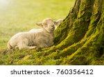 Sleeping Lambs In The Morning...