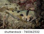 black blotched porcupinefish  ... | Shutterstock . vector #760362532