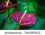 Close Up Of Red Anthurium...