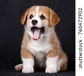 Stock photo corgi puppies on black background red tricolor one month old 760472902