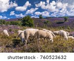blooming heather flowers on the ... | Shutterstock . vector #760523632