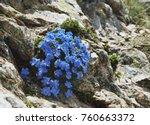 eritrichium nanum  also known... | Shutterstock . vector #760663372